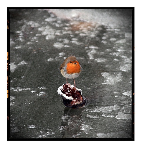 Robin on a frozen pond