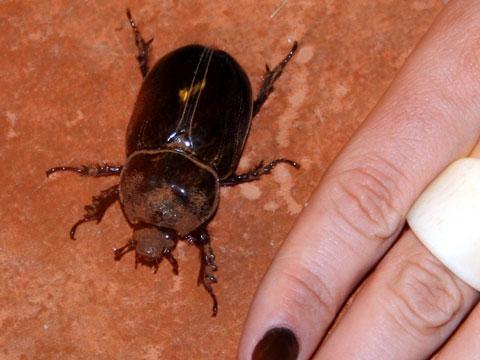 Massive beetle