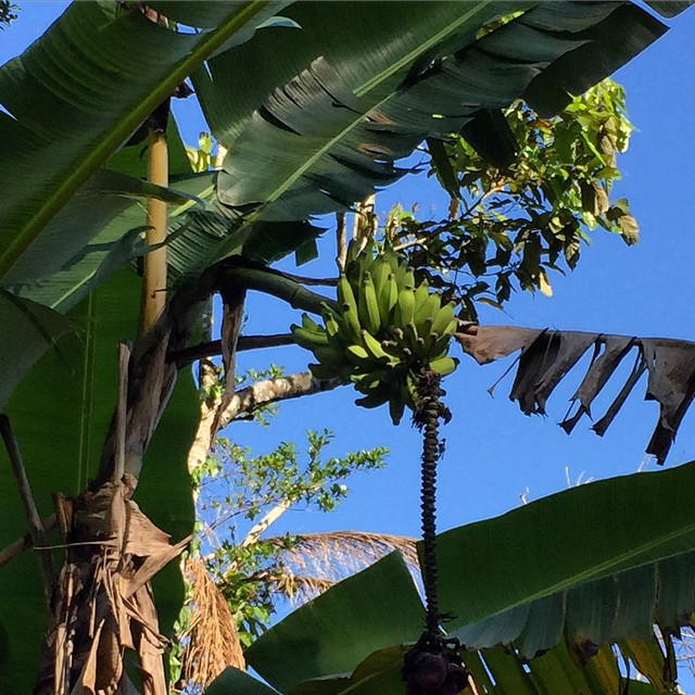 No need to buy bananas if you don't mind shining up a tree (and don't get caught by whoever owns the land)