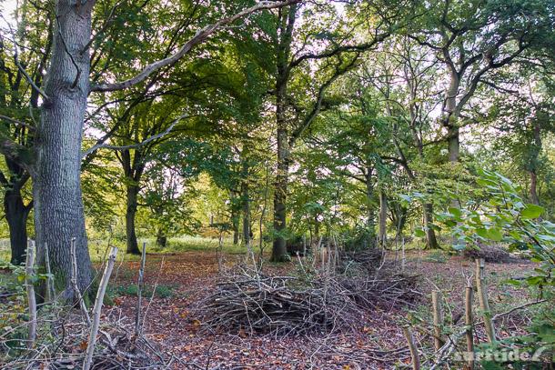 Coppicing in Hatfield Forest, Hertfordshire