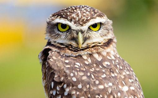 Macro photo of a burrowing owl in Brazil