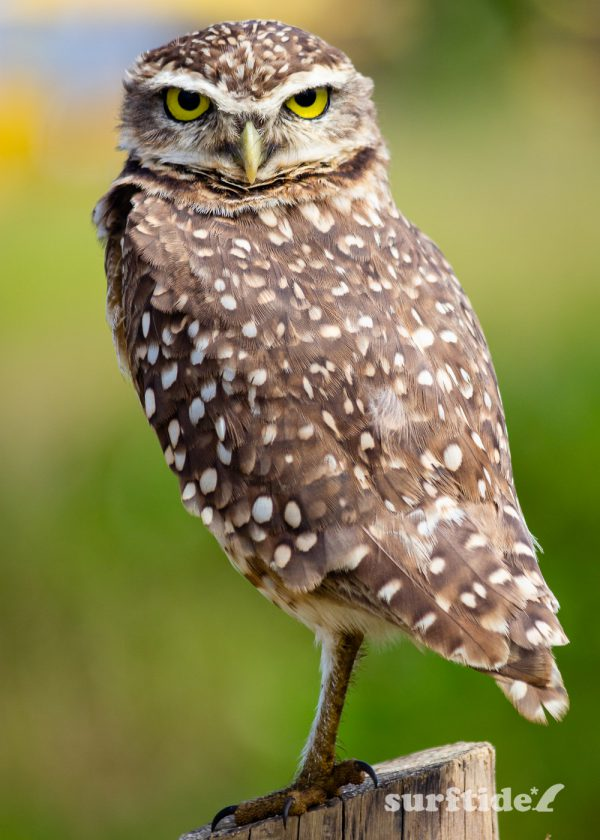 Macro photo of a burrowing owl in Brazil
