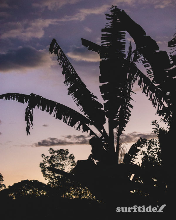 Banana tree silhouettes against the evening sky in Brazil